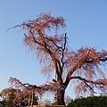 京都圓山公園一本枝垂櫻-夜櫻 (9)