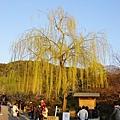 京都圓山公園一本枝垂櫻-夜櫻 (12)