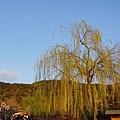 京都圓山公園一本枝垂櫻-夜櫻 (13)