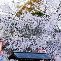 京都圓山公園一本枝垂櫻-夜櫻 (14)