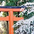 京都圓山公園一本枝垂櫻-夜櫻 (15)