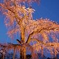 京都圓山公園一本枝垂櫻-夜櫻 (17)