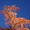 京都圓山公園一本枝垂櫻-夜櫻 (18)