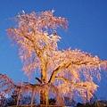 京都圓山公園一本枝垂櫻-夜櫻 (19)