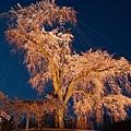 京都圓山公園一本枝垂櫻-夜櫻 (25)