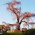 京都圓山公園一本枝垂櫻-夜櫻 (29)