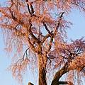 京都圓山公園一本枝垂櫻-夜櫻 (30)