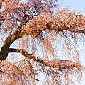 京都圓山公園一本枝垂櫻-夜櫻 (31)