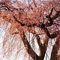 京都圓山公園一本枝垂櫻-夜櫻 (32)