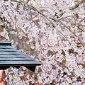 京都圓山公園一本枝垂櫻-夜櫻 (33)