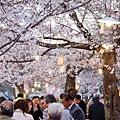 京都圓山公園-夜櫻宴 (1)