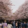 上野公園-櫻花雨 (1)