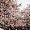 上野公園-櫻花雨 (2)