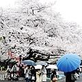 上野公園-櫻花雨 (3)