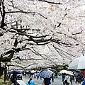 上野公園-櫻花雨 (4)