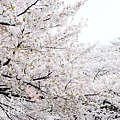 上野公園-櫻花雨 (5)
