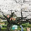 上野公園-櫻花雨 (7)