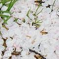 上野公園-櫻花雨 (12)