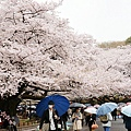 上野公園-櫻花雨 (17)