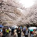 上野公園-櫻花雨 (19)