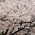 上野公園-櫻花雨 (20)