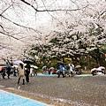 上野公園-櫻花雨 (23)