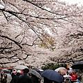 上野公園-櫻花雨 (28)