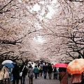 上野公園-櫻花雨 (29)