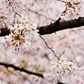 上野公園-櫻花雨 (31)