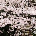 上野公園-櫻花雨 (32)