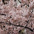 上野公園-櫻花雨 (35)
