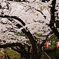 上野公園-櫻花雨 (40)