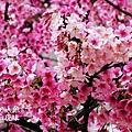 芝山岩私宅櫻花 (5)