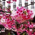 芝山岩私宅櫻花 (7)