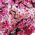 芝山岩私宅櫻花 (11)
