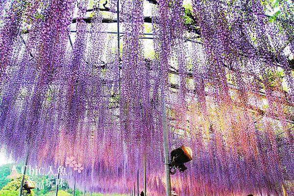 足利公園紫藤雨 (350)