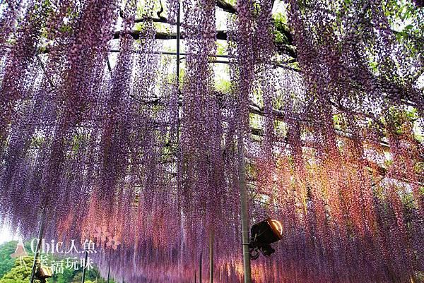 足利公園紫藤雨 (353)