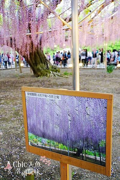 足利公園紫藤雨 (358)