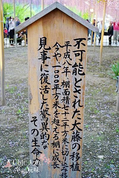 足利公園紫藤雨 (360)