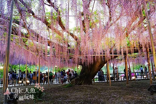 足利公園紫藤雨 (363)