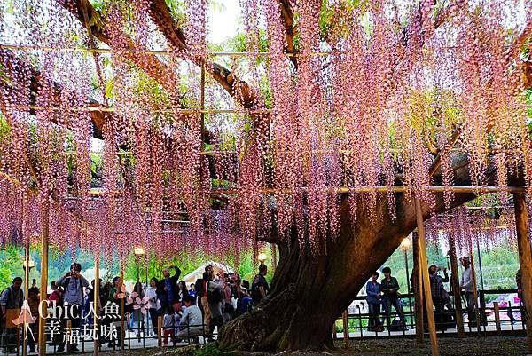 足利公園紫藤雨 (364)