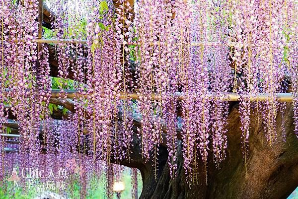 足利公園紫藤雨 (365)