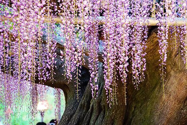 足利公園紫藤雨 (366)