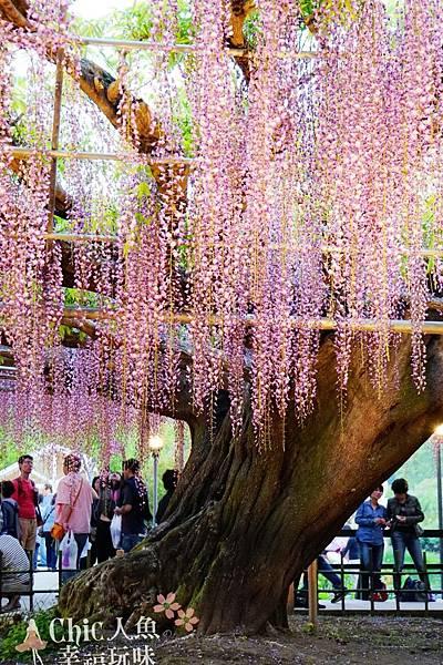 足利公園紫藤雨 (367)