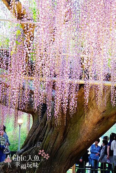 足利公園紫藤雨 (368)