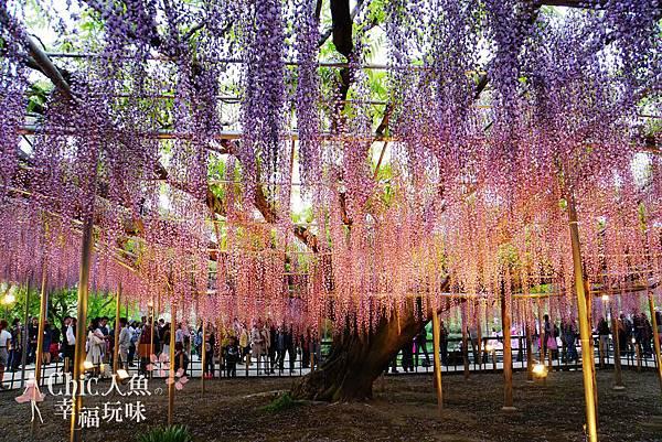 足利公園紫藤雨 (372)