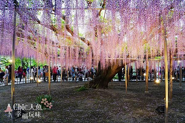 足利公園紫藤雨 (373)