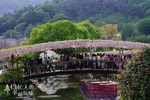 足利公園紫藤雨 (377)