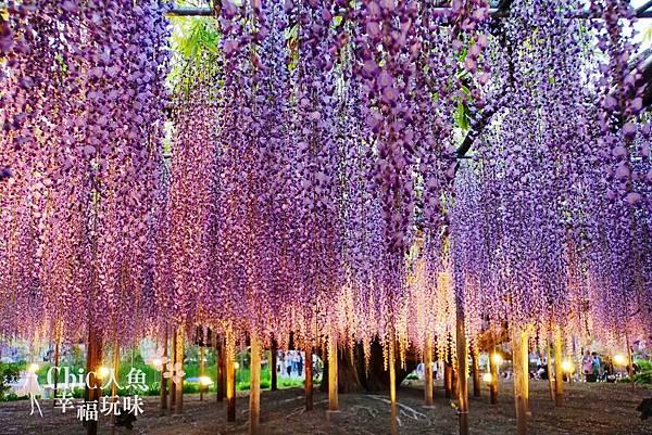 足利公園紫藤雨 (381)