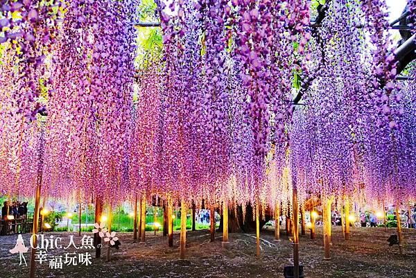 足利公園紫藤雨 (382)